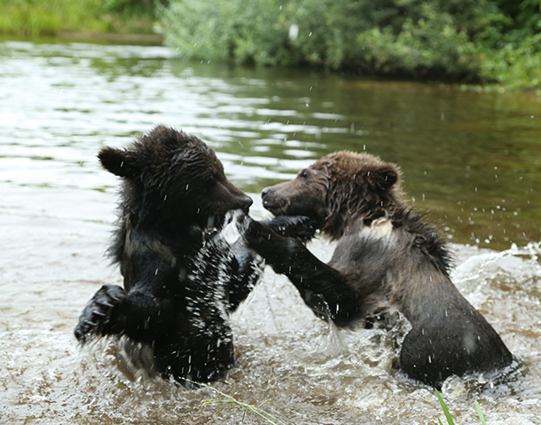 Playful cubs splashing at center's nearby pond.