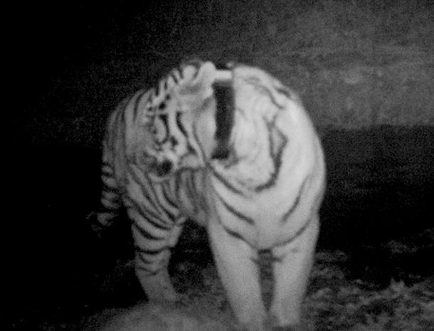 The Kuyza the tiger in Taipingou natural reserve. © Taipinggou Nature Reserve