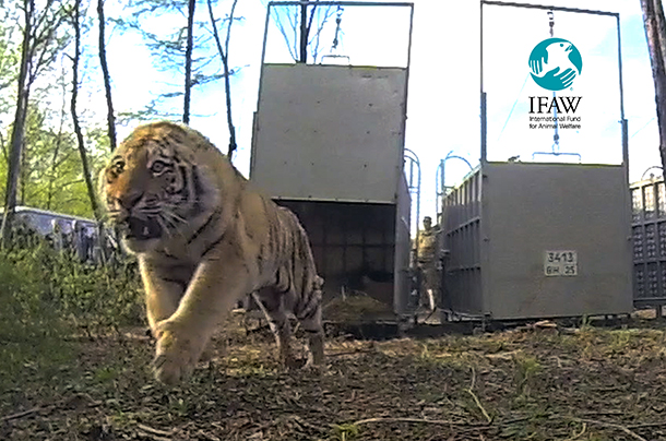 Orphaned tigers Ilona, Borya and Kuzya were successfully released back to the wild in Far East Russia after undergoing IFAW-supported rehabilitation. Russian President, Vladimir Putin, participated in the release. c. IFAW/M. Booth