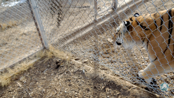 A photo of poor fencing around tigers enclosures at a facility IFAW, Turpentine Creek Wildlife Refuge and Tigers in America had the opportunity to rescue cats from. The facility was also speed breeding cubs to fuel its cub petting business.
