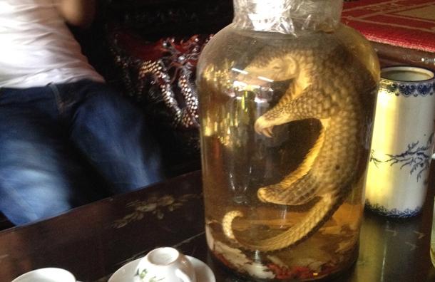 pangolin floating in jar of liquid