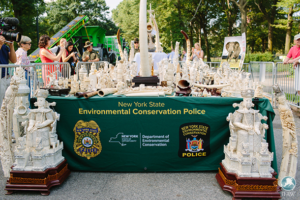 illegal ivory confiscated in new york was crushed today in central park
