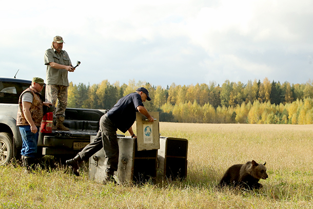 A bear named Masha was released with Pueschel near the village of Lugovo in the Penovskyi region of the Tver District.