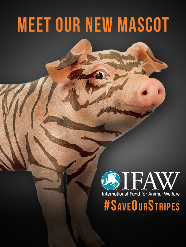 IFAW is bringing awareness to the plight of the tiger through a campaign to alumni of colleges and universities with tiger mascots, asking them to imagine a world without their revered mascot.