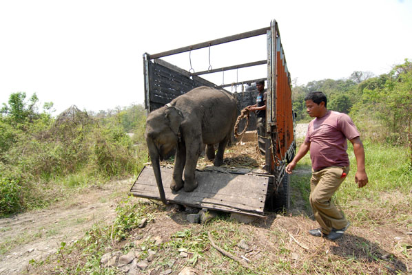 One of the baby elephants making its way into Manas National Park.