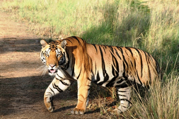VIDEO: Unheard stories of the unsung heroes working to save India's tigers