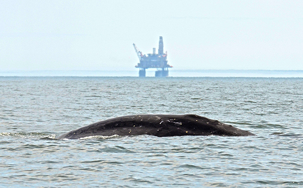 There has been a lot of good news from the Western Gray Whale expedition this year, despite ongoing threats.
