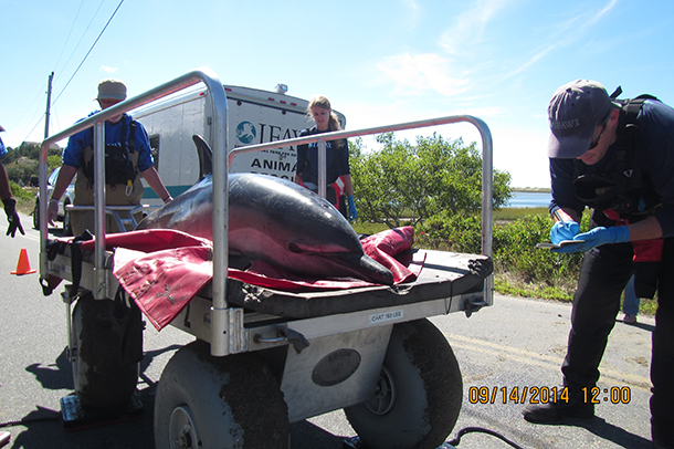 Health assessments, which included reviewing blood values, monitoring vital signs and conducting external examinations for any injuries, were performed on the four remaining dolphins while they were given supportive care.