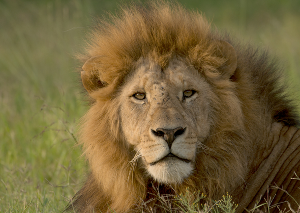 African lion expected to get much needed protections