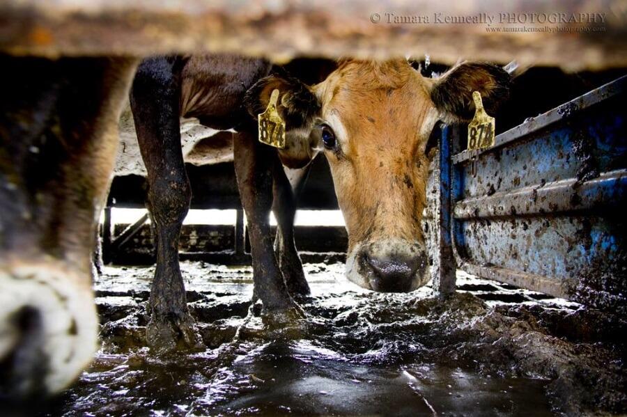 Australian dairy industry cruelty