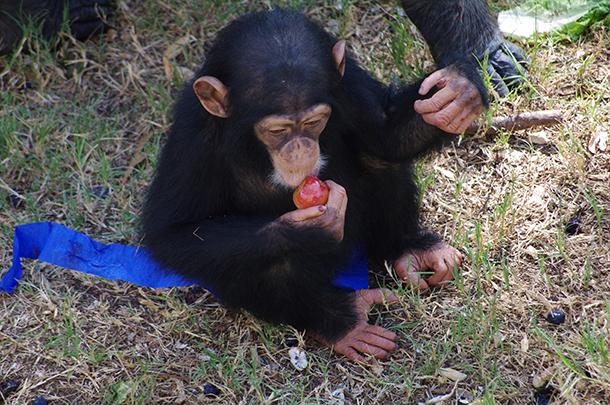 Valentina eating a plum. c. Chimp Haven