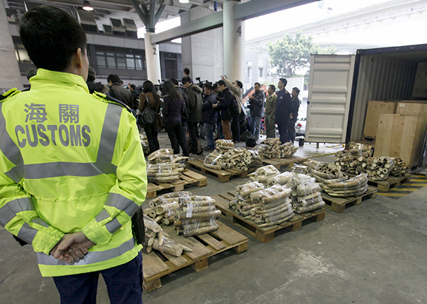 779 seized ivory tusks are laid out on the floor at Hong Kong Government Customs and Excise in 2013.