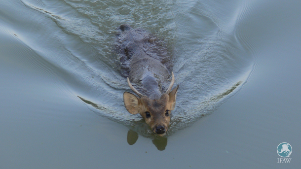 A hog deer swims through a flooded Kaziranga National Park in this file photo.