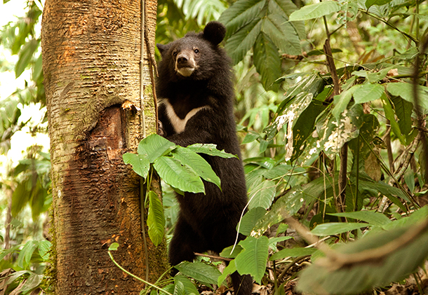 Traditional Assamese New Year brings new opportunity for orphaned bears in India