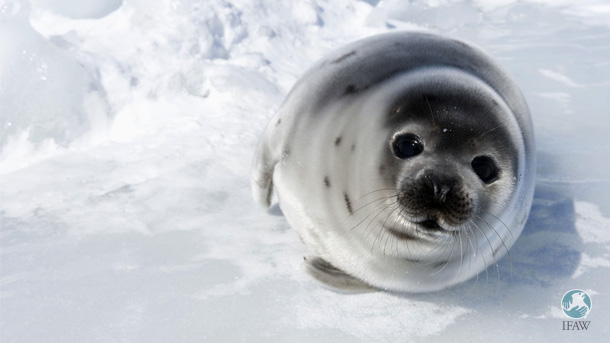 A harp seal pup rests on the ice in Gulf of St. Lawrence, Canada. IFAW works to protect seals from cruelty and stop the commercial seal hunt in Canada.