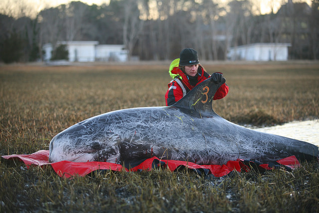 New Year's Risso's Dolphins Rescue