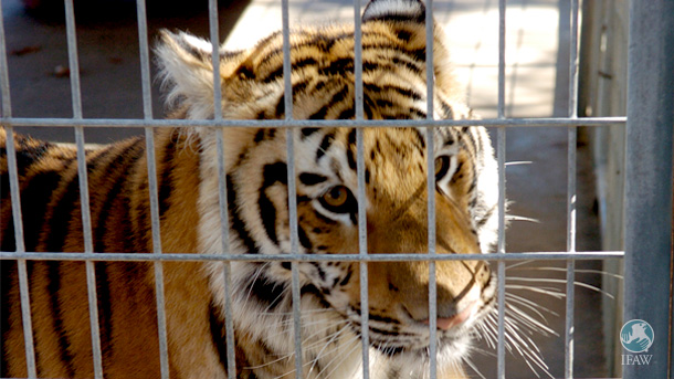 Big cats in captivity—many of which are not subject to reporting or documentation requirements under current federal and state law—are not allowed to live naturally in the wild and they can potentially harm area residents if they escape.