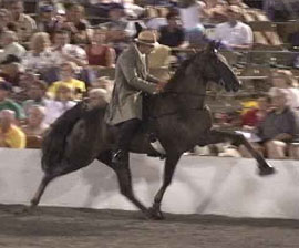 A horse and rider at a Tennessee Walking Horse event