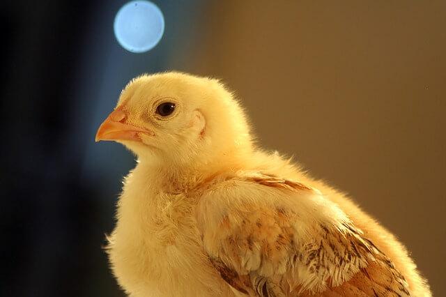 Sad Baby Chick