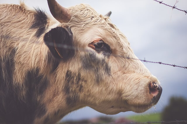 Sad Cow Behind Barbed Wire