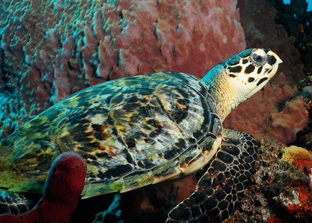 An endangered hawksbill sea turtle.