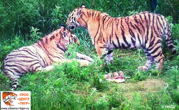 Saikhan (formerly Yarik) and Lazovka are now fully familiarized with their larger enclosure at PRNCO Tiger Center.