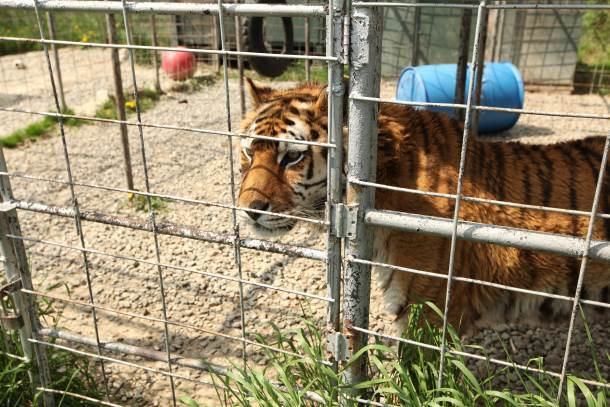 A tiger recently rescued from a failed sanctuary in upstate NY.