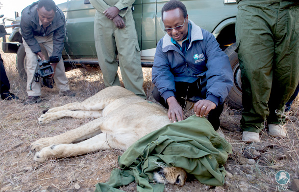 The author with Nyala the collared lioness.