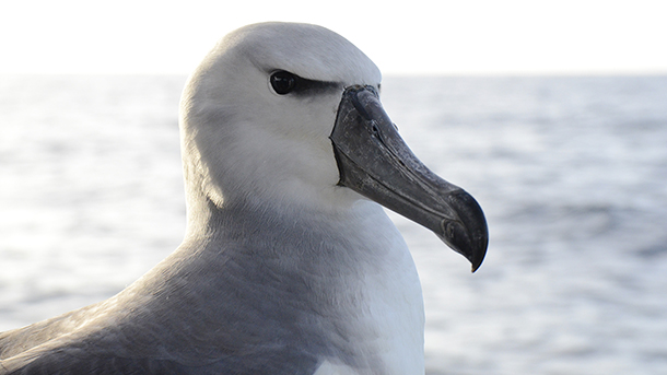 Shy albatross released to the Southern Ocean. PHOTO: © IFAW /Eric J Woehler