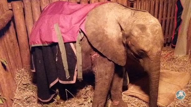 zambia elephant orphan awake after a long night