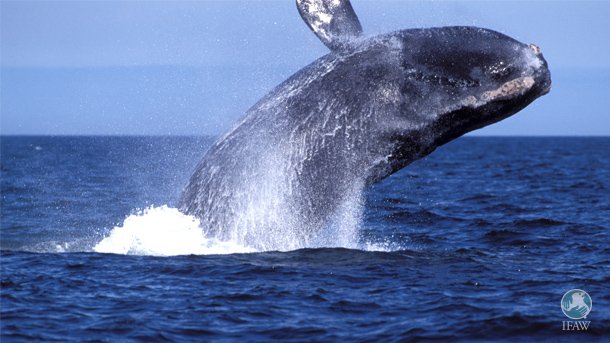 The North Atlantic right whale population has now experienced nearly twice as many deaths (9) as births (5) this year.