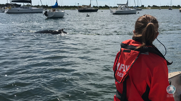 Sarah Sharp, IFAW veterinarian, observes the minke whale in Stage Harbor.