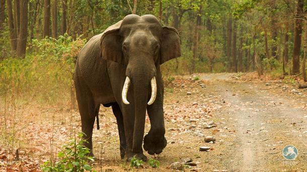 A highly endangered Asian elephant tusker in Rajaji National Park, Uttarakhand State, India.