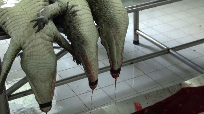 Crocodiles skinned in Vietnam