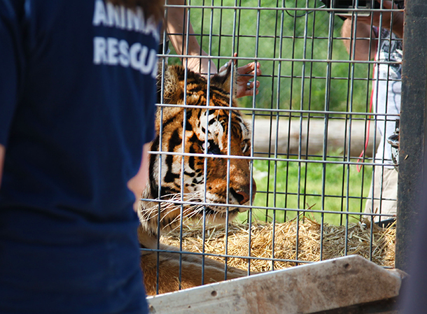 IFAW coordinated a two-day animal seizure in upstate New York that included tigers, lions, bears and wolves. IFAW worked closely with the USDA and the NYDEC to rescue and move the animals to new homes in 6 reputable sanctuaries across the US. c. IFAW