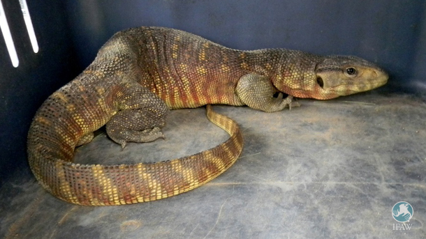 Monitor lizards are protected under Sch-I of the Indian Wild Life (Protection) Act, 1972 and the trade is restricted under CITES – Appendix I.