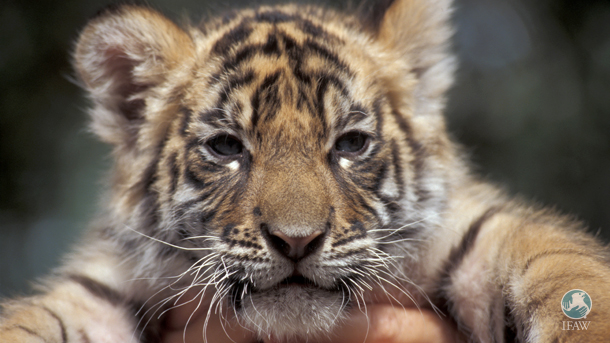 Urge USDA to bring an end to direct contact with dangerous animals, including big cats.