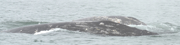 Spotlight Russia: Despite fog, Western Gray Whale Research Team's work continues