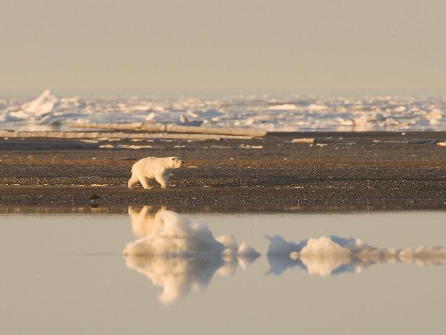 Polar Bear Climate Change