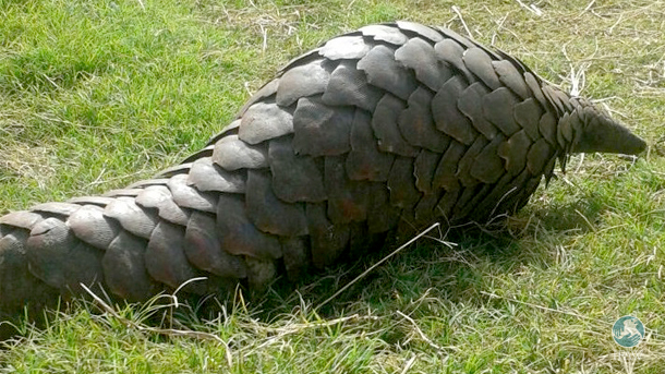 A pangolin, rescued from traders is released into Kasungu National Park.