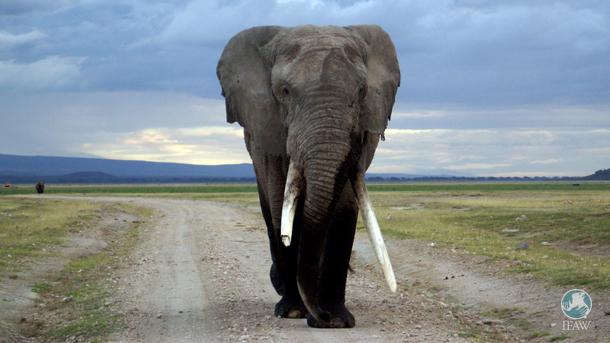 An elephant roams Amboseli National Park.