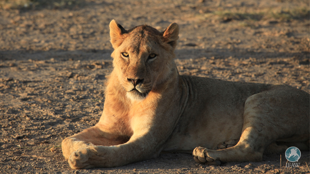 A lion at Amboseli National Park.