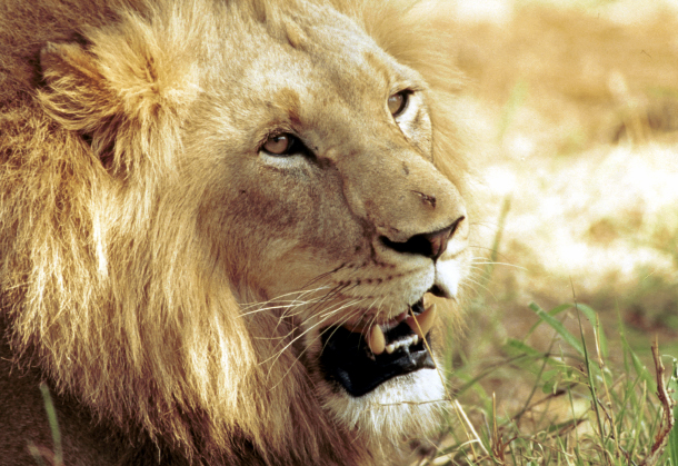 Of all the threats to lions, trophy hunting is the one that can most easily be ended.