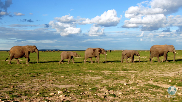 Amboseli elephants will be safer thanks to new communication equipment provided to the Maasai by IFAW.