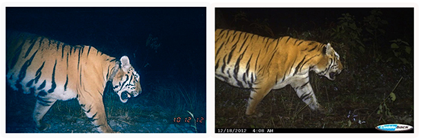 two photos of an indian tiger