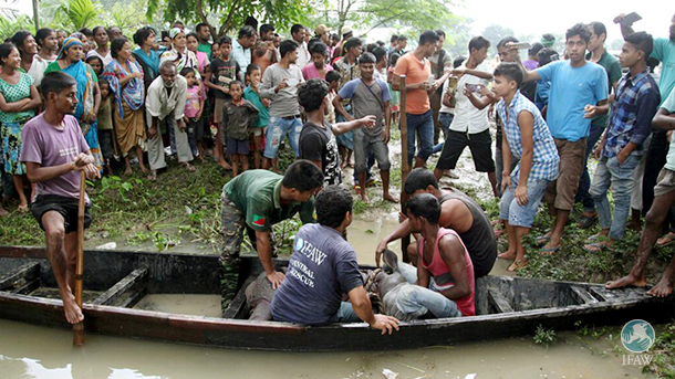 baby rhino rescued by boat in assam india floods