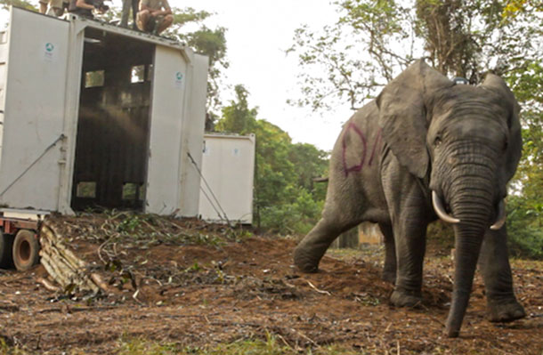 One of two male forest elephants free of his transport container, enters his new home in Cote d'Ivoire's Azagny National Park.