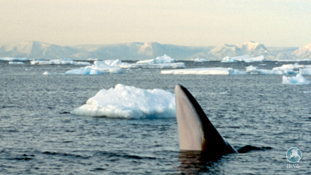 A curious minke whale spy hopping in the waters off Antarctica.