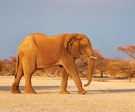 A Big Problem: Unless the Ivory Trade Is Stopped, Elephants Could Become Extinct