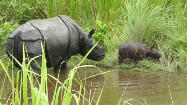 rehabilitated rhino gives birth to second rhino calf in manas national park
